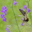 チドリソウやアベリアの蜜を吸うアゲハチョウ