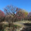 国営昭和記念公園の梅が見頃です!