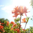 オレンジの花、凛と。