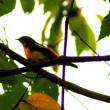 10/18探鳥記録写真(響灘グリーンパークの鳥たち:キビタキほか)