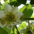キウイフルーツの花、ミカンとユズの花・・・