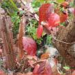 ニシキギ落葉