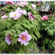 春がいっぱい…(^^♪富貴の象徴で、百花の王、華麗な「牡丹の花」