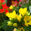 出先で見た カランコエ の花と、