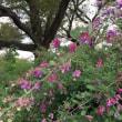 一面に広がるレモンイエローのコスモスが見頃でした🌺🌺 昭和記念公園