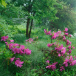 山間に咲くツツジ