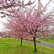 汐入公園の河津桜と隅田川堤のユキヤナギ