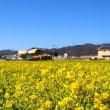 見奈良 菜の花