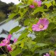 海蔵寺 フヨウの花