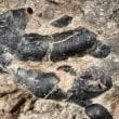 ユタ州の糞の化石から、草食恐竜は、甲殻類も食べた!