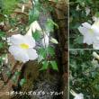 コダチヤハズカズラ・アルバの花は