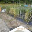 グリーンピースの畝も片づけました
