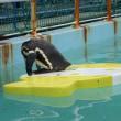フンボルトペンギン自主練中2