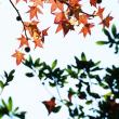モネの庭の紅葉7