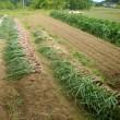 今年初めての纏まった収穫