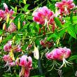 『季節の花』 百合