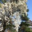 前橋も桜満開