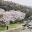 金沢のさくら2018(16)浅野川周辺