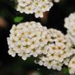 白い花の集合体のコデマリが見ごろになっています。 (Photo No.14305)