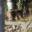 野生の猿と遭遇