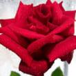 真紅のバラ&The Rose - Bette Midler (歌詞字幕)English & Japanese Lyrics