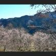 城峯公園冬桜Ⅶ
