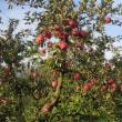リンゴの収穫を始めました
