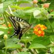 ランタナにアゲハ蝶とサツキの盆栽(その14〉