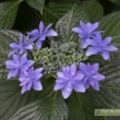 紫陽花いろいろ(指扇氷川神社)