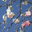 Prunus persica ❛Suishi Sarasa❜