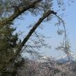 小国町八幡宮の桜