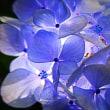 『今日の誕生花』 「冷淡」