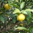 平成30年12月9日(日曜日)「檸檬」(てまりさん)