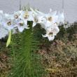 10連のユリの花