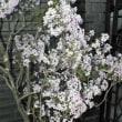 ライラック Lilac