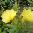 季節の花「待宵草 (まつよいぐさ」