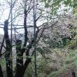 熱海高校そばのヒマラヤ桜