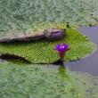 お盆は新潟:五十公野公園ー網代浜ー福島潟の出会い(ツルリンドウ、オニバス他)