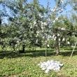 台風の後のりんご拾い