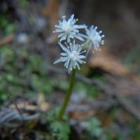 咲いていた、白い小さな草花