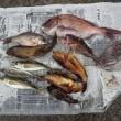 週末の釣果....石鯛は腹肥えて、ピークですね