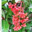 ≪珊瑚樹・サンゴジュ≫
