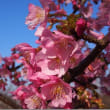 4月15日(日曜日)「桜か海棠か」(伊佐爾波)