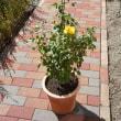 黄色いバラ「レヨン ドゥ ソレイユ」鉢替え