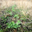 春に向かう、豌豆の芽。