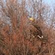モエレのオジロワシ 12/14 木の上で待っているさくら かな