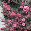 ギョリュウバイ 御柳梅 赤花八重咲き
