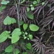 日本茜 茎と葉