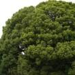 明治神宮の御神木