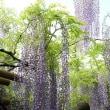 藤・シャクナゲ・つつじすっかり春です